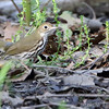Ovenbird <br /> Riverwoods Park and Trail <br /> Bridgeton, Mo.