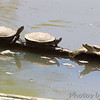 Turtles in Missouri River <br /> Riverwoods Park and Trail <br /> Bridgeton, Mo.