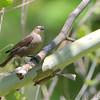 Brown-headed Cowbird <br /> Riverwoods Park and Trail <br /> Bridgeton, Mo.