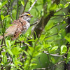 White-throated Sparrow <br /> Riverwoods Park and Trail <br /> Bridgeton, Mo.