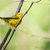 Yellow Warbler <br /> Riverwoods Park and Trail <br /> Bridgeton, Mo.