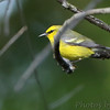 Blue-winged Warbler <br /> Riverwoods Park and Trail <br /> Bridgeton, Mo.