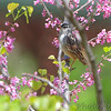 White-crowned Sparrow <br /> Riverwoods Park and Trail <br /> Bridgeton, Mo.