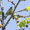 Palm Warbler <br /> Riverwoods Park and Trail <br /> Bridgeton, Mo.