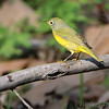 Nashville Warbler <br /> Riverwoods Park and Trail <br /> Bridgeton, Mo.