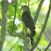 Cooper's Hawk <br /> Riverwoods Park and Trail <br /> Bridgeton, Mo.