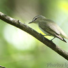 Red-eyed Vireo <br /> James McDonnell County Park <br /> St Ann, MO