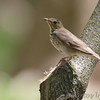 Veery <br /> James McDonnell County Park <br /> St Ann, Mo.
