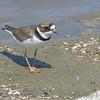 Semipalmated Plover <br /> Ellis Bay <br /> Riverlands Migratory Bird Sanctuary