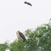 Red-tailed hawk and Blue Jay <br /> Gaddy Bird Garden <br /> Tower Grove Park