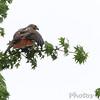 Red-tailed hawk <br /> Gaddy Bird Garden <br /> Tower Grove Park