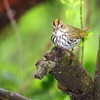 Ovenbird <br /> Gaddy Bird Garden <br /> Tower Grove Park