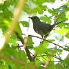 Gray Catbird <br /> Gaddy Bird Garden <br /> Tower Grove Park