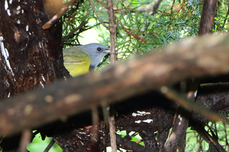 Mourning Warbler <br /> Gaddy Bird Garden <br /> Tower Grove Park