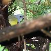 Mourning Warbler <br /> Gaddy Bird Garden <br /> Tower Grove Park