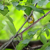 Magnolia Warbler <br /> Gaddy Bird Garden <br /> Tower Grove Park