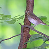 Swainson's Thrush <br /> Gaddy Bird Garden <br /> Tower Grove Park