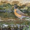 American Robin <br /> Gaddy Bird Garden <br /> Tower Grove Park