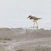 Klldeer <br /> Ellis Bay <br /> Riverlands Migratory Bird Sanctuary
