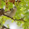 Tennessee Warbler <br /> Bridgeton, Mo. <br /> 2018-05-04