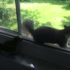 "Dexter vs Squirrel <br> Bridgeton, Mo <br> 2018-05-20 14:39:36-05:00 <br>  <span class=""noShowSmart""> <a href=""/MyKeywords/Bird-Videos/n-gF9bt/i-Bw3j66b/A""> <span style=""color:yellow"">Click here to open video in lightbox/full screen</span></a> </span>  <span class=""noShowGallery""> <a href=""/Birds/2018-Birding/Birding-2018-May/2018-May-Yardbirds/i-Bw3j66b/A""> <span style=""color:yellow"">Click here to open video in lightbox/full screen</span></a> </span>"