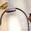 Baltimore Oriole and Orchard Oriole <br /> Bridgeton, Mo. <br /> 2018-05-04