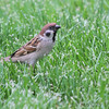 Eurasian Tree Sparrow <br /> Bridgeton, Mo. <br /> 2018-05-03