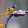 Baltimore Oriole <br /> Bridgeton, Mo. <br /> 2018-05-03