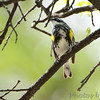 Yellow-rumped Warbler <br /> Bridgeton, Mo. <br /> 2018-05-04