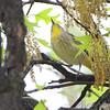 Palm Warbler <br /> Bridgeton, Mo. <br /> 2018-05-04