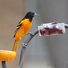 Baltimore Oriole <br /> Bridgeton, Mo. <br /> 2018-05-02
