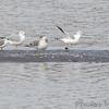 Franklin's and Ring-billed Gulls <br /> Ellis Bay <br /> Riverlands Migratory Bird Sanctuary