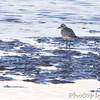 Black-bellied Plover <br /> Ellis Bay <br /> Riverlands Migratory Bird Sanctuary
