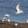 Bonapart's and Ring-billed Gulls <br /> Ellis Bay <br /> Riverlands Migratory Bird Sanctuary