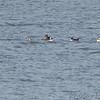 Hooded Merganser • Bufflehead • Ruddy Duck <br /> Ellis Bay <br /> Riverlands Migratory Bird Sanctuary
