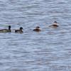 American Coot • Pied-billed Grebe • Ruddy Duck <br /> Ellis Bay <br /> Riverlands Migratory Bird Sanctuary