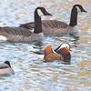 Mandarin Duck <br /> Mallard and Canada Geese  <br /> St. Ferdinand Park <br /> Florissant, MO