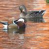 Mandarin Duck and Mallard <br /> St. Ferdinand Park <br /> Florissant, MO