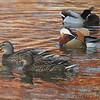 Mandarin Duck and Mallards <br /> St. Ferdinand Park <br /> Florissant, MO