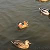 Mandarin Duck <br /> St. Ferdinand Park <br /> Florissant, MO