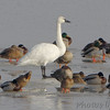 Tundra Swan and Mallards <br /> Lower Ellis Bay<br /> Riverlands Migratory Bird Sanctuary