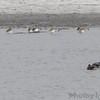 Dunlin <br /> Lower Ellis Bay<br /> Riverlands Migratory Bird Sanctuary