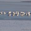 Ring-billed Gulls <br /> Mid Ellis Bay<br /> Riverlands Migratory Bird Sanctuary