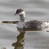 Horned Grebe <br /> Upper Ellis Bay <br /> Riverlands Migratory Bird Sanctuary