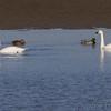 Tundra Swans and Mallards <br /> Lower Ellis Bay <br /> Riverlands Migratory Bird Sanctuary