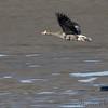Greater White-fronted Goose <br /> Lower Ellis Bay <br /> Riverlands Migratory Bird Sanctuary