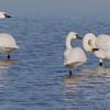 Tundra Swans <br /> Lower Ellis Bay <br /> Riverlands Migratory Bird Sanctuary