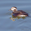 Long-tailed Duck (female)<br /> Teal Pond <br /> Riverlands Migratory Bird Sanctuary