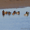 Mallards <br /> Lower Ellis Bay <br /> Riverlands Migratory Bird Sanctuary