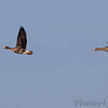 Greater White-fronted Geese <br /> Lower Ellis Bay <br /> Riverlands Migratory Bird Sanctuary
